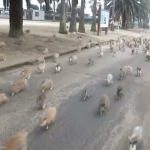 Rabbit_Island_in_Japan_-_YouTube.png