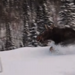 Trapped_moose_running_past_us.png