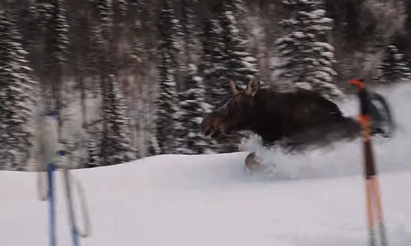 Trapped moose running past us