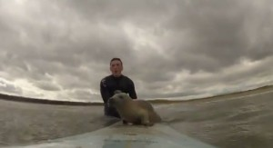 seal-surfing